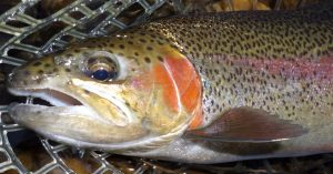 A little familiarity with insects and their life cycles can really help to put pretty trout in your net like this one!